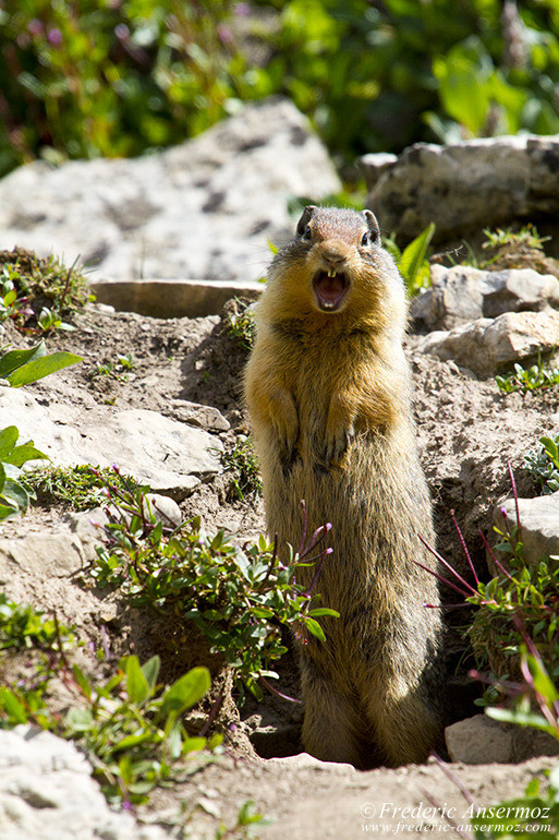 prairie dog standing and screaming with burrow in Alberta