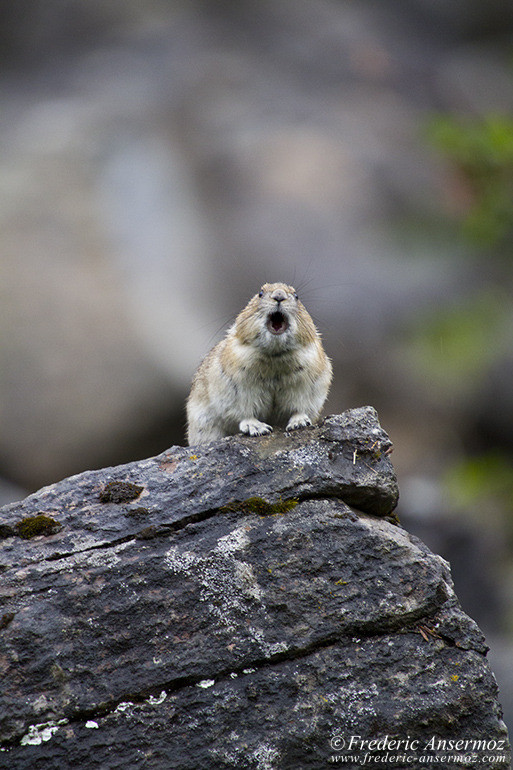 pika screaming on rock in Alberta