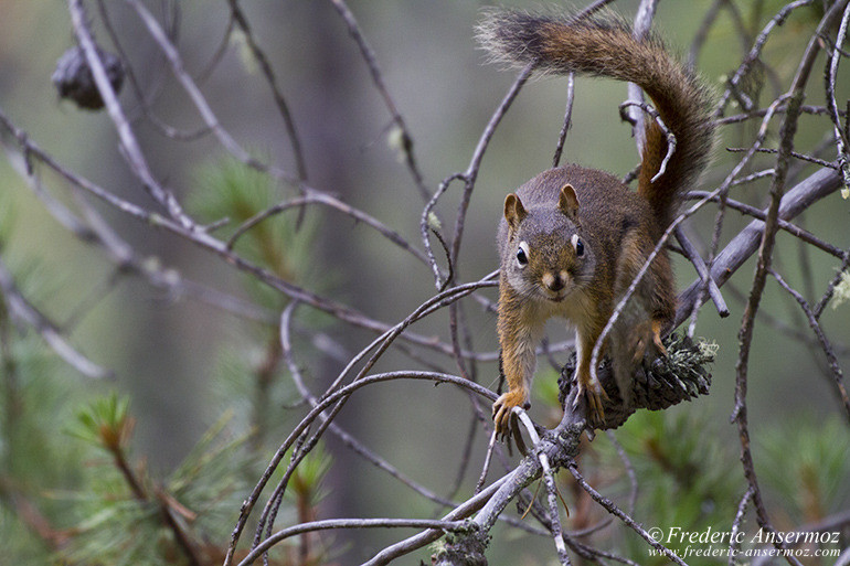 squirrel on branch in pinecone tree