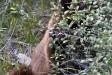 brown bear eating berries in forest in Alberta