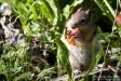 ground-squirrel-eating-flower