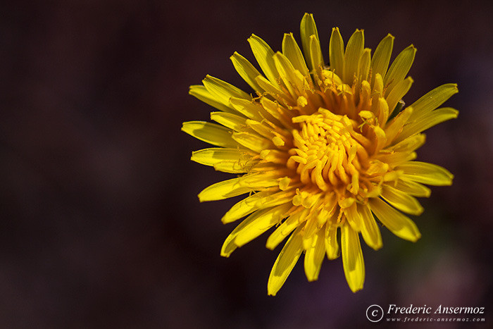 04-yellow-flower-alberta
