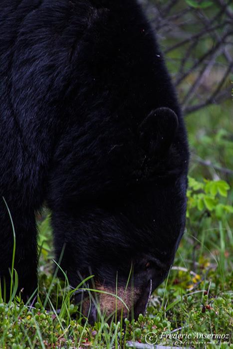 06-black-bear-head