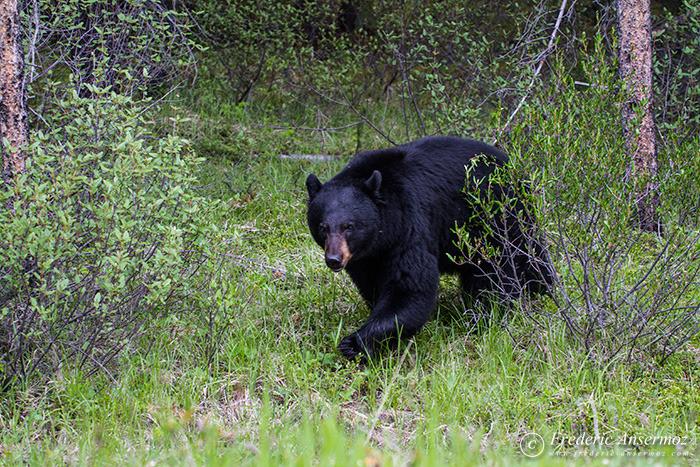 08-black-bear-walking-forest