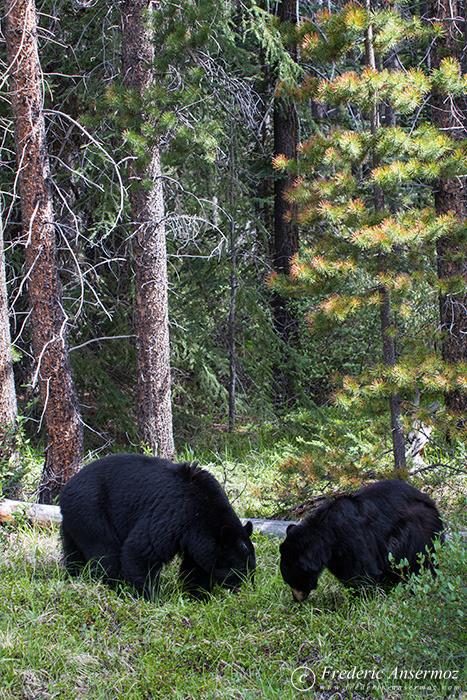 12-black-bears-mother-cub
