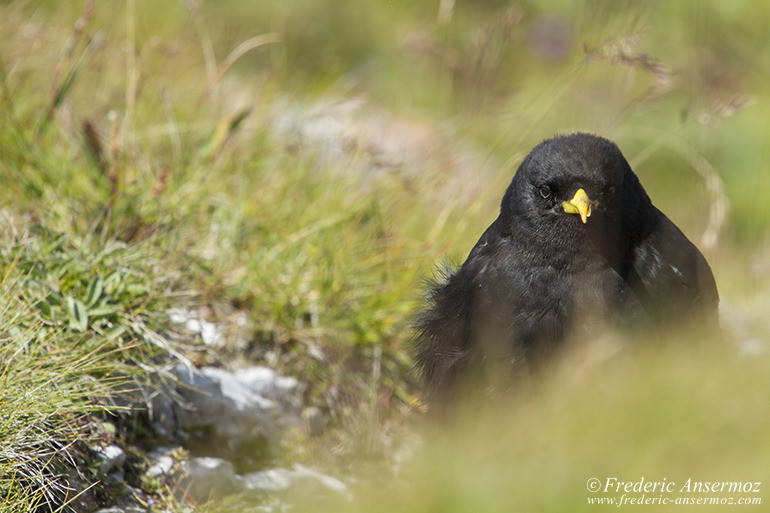 alpine-chough-alps