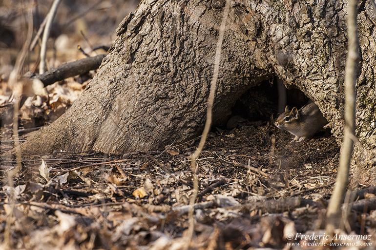 chipmunk-hide