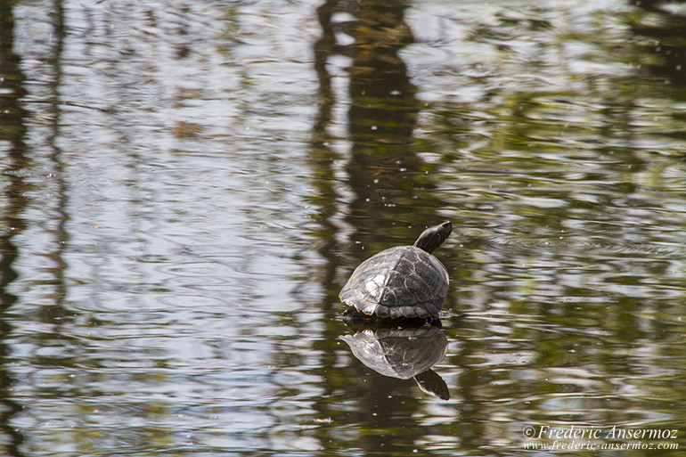 northern-map-turtle