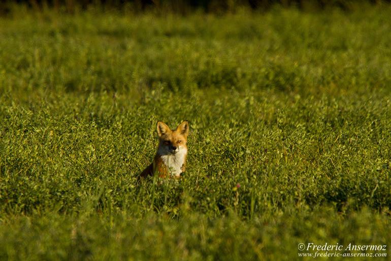 red-fox-grass