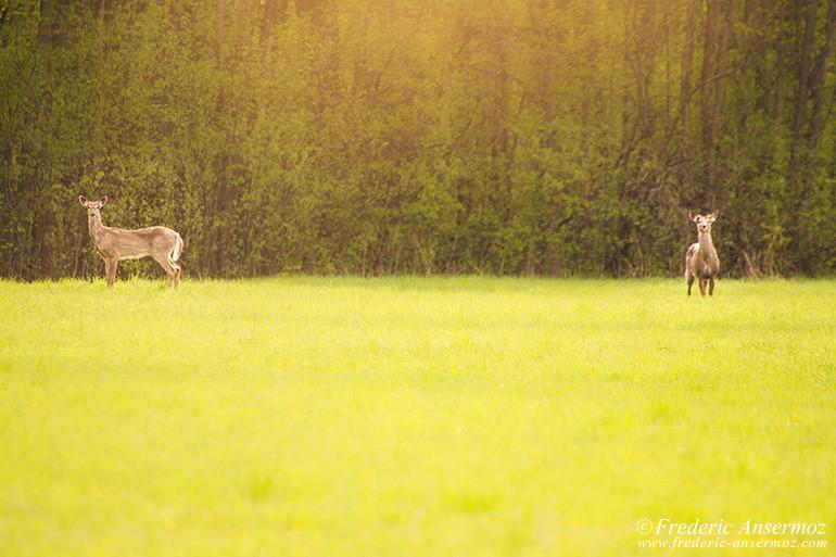 white-tailed-deer-prairie