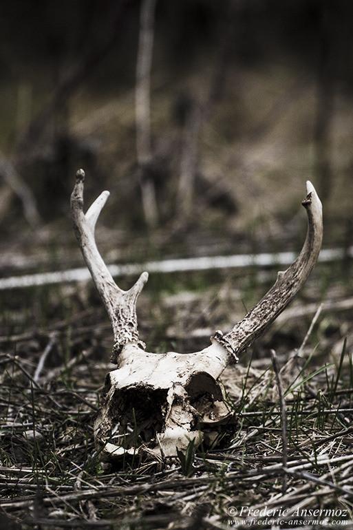 white-tailed-deer-skull