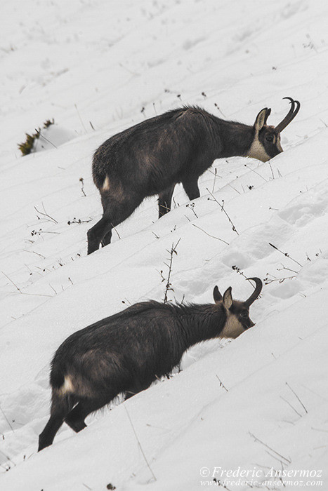 duo-chamois-hiver