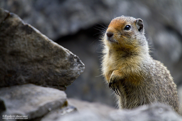 ground-squirrel-alberta