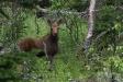Baby Moose 1
