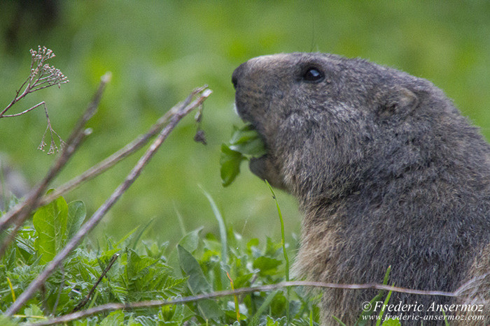 marmot-eating