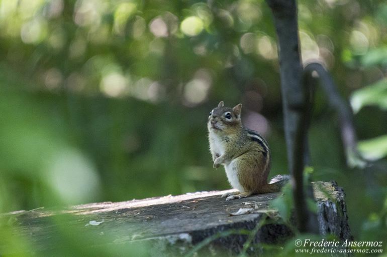 chipmunk-looking