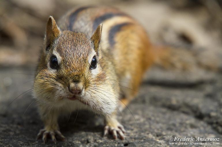 chipmunk-portrait