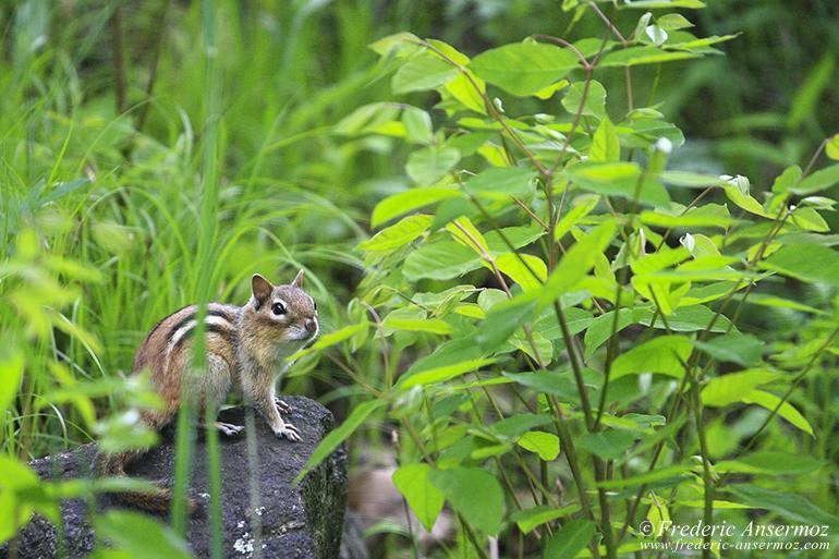 chipmunk-posing