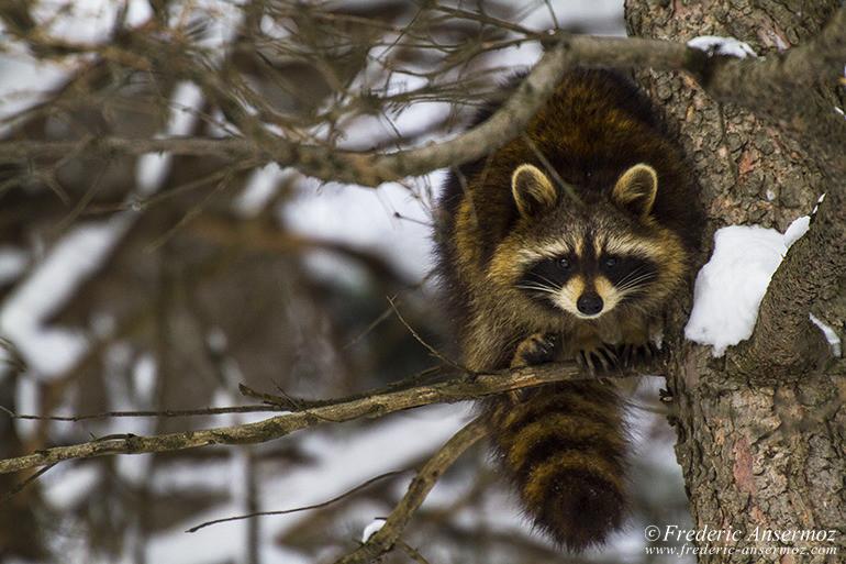 raccoon-branch-winter