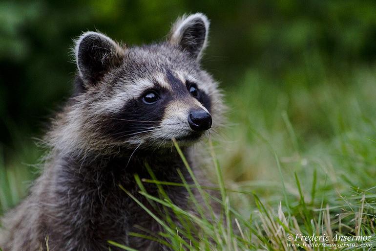 raccoon-montreal