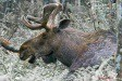 Ansermoz-Photography-Moose