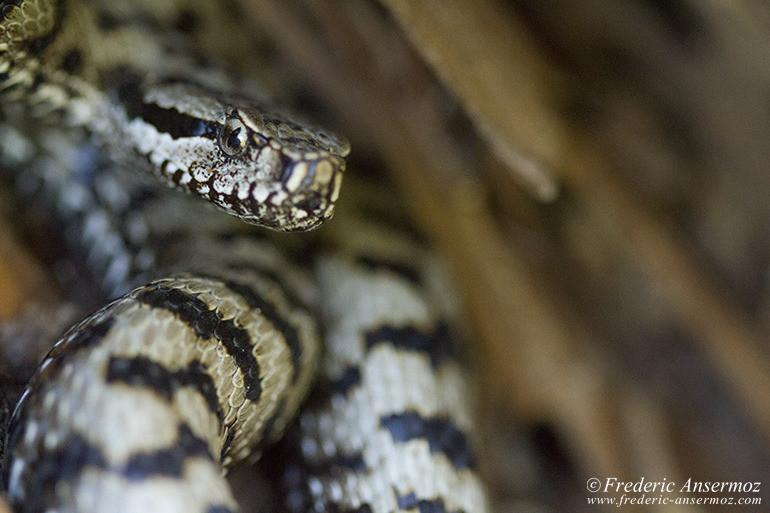 wildlife-aspic-viper-09