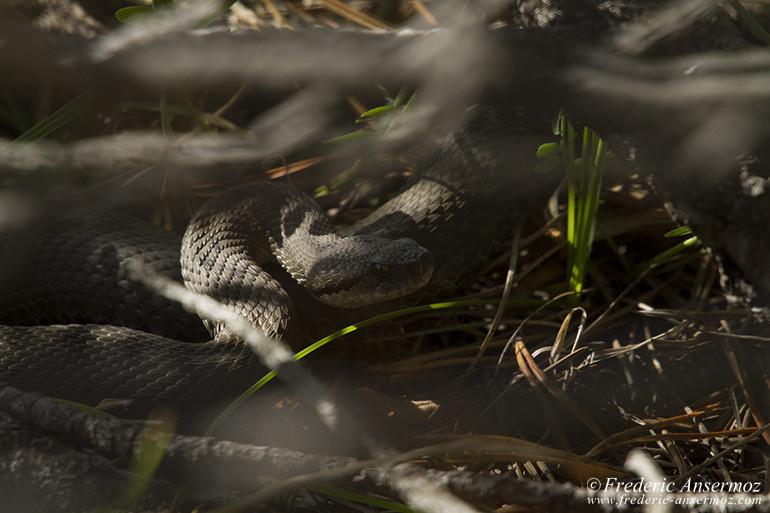 wildlife-aspic-viper-18