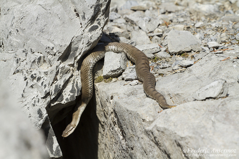 wildlife-aspic-viper-20