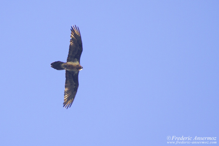 wildlife-gypaete-barbu-05