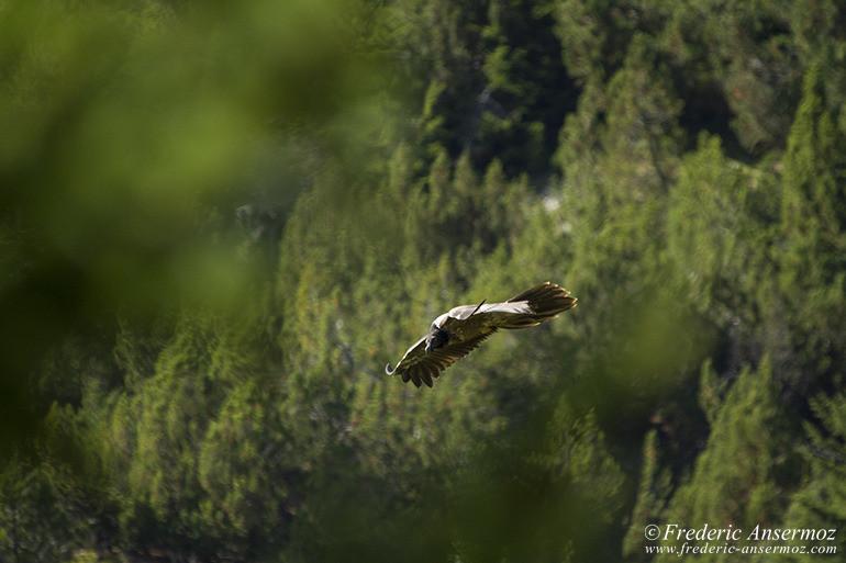 wildlife-gypaete-barbu-07