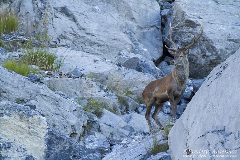 wildlife-red-deer-14