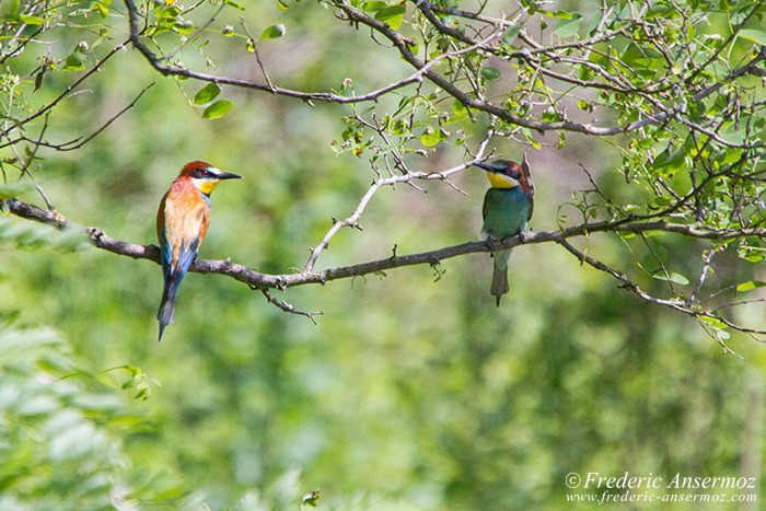 bee-eaters-couple