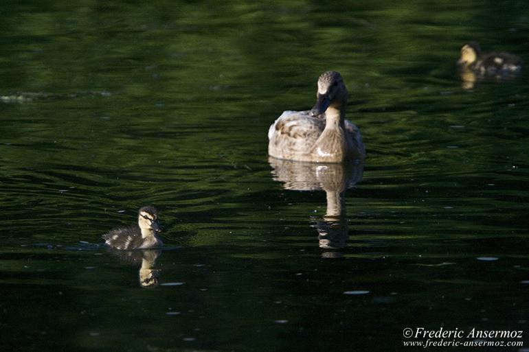 ducks-montreal