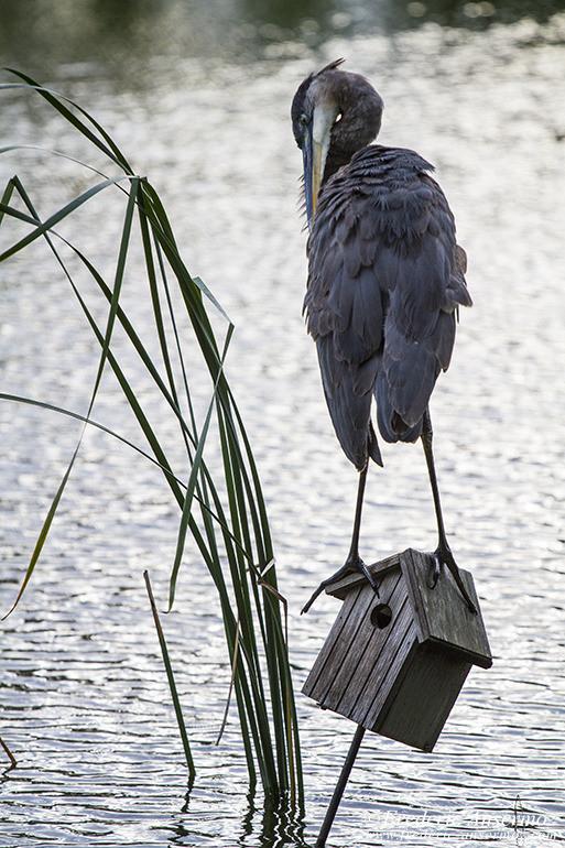 great-blue-heron-botanical-garden