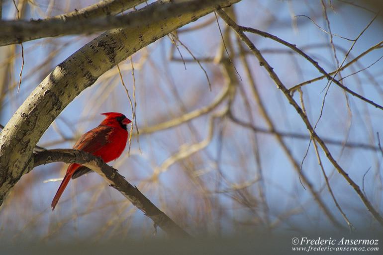 northern-cardinal-bird