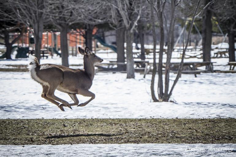 white-tailed-deer-flying