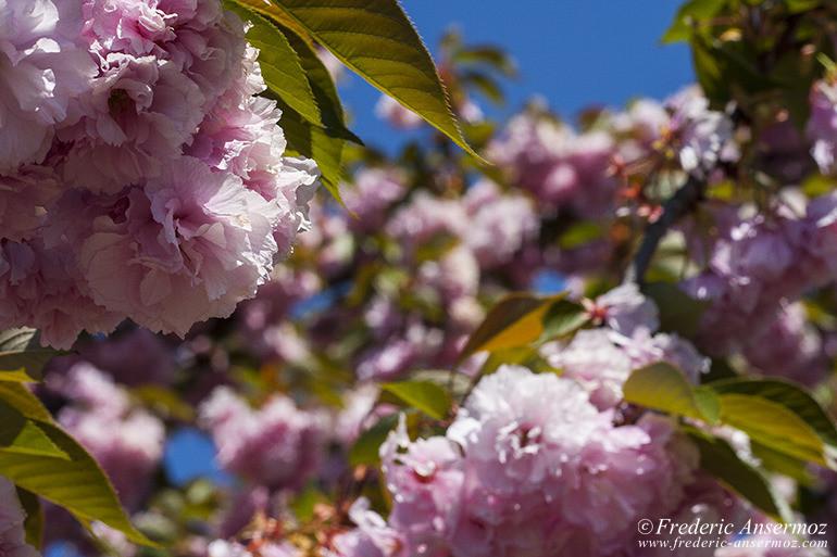 washington-dc-cherry-blossom
