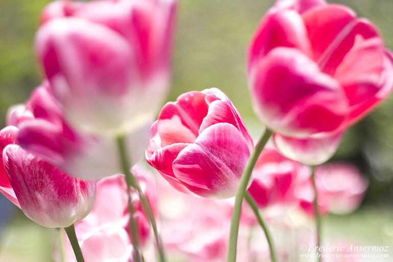 washington-dc-tulips