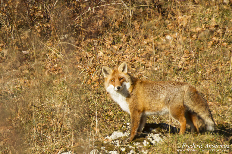 adult-red-fox