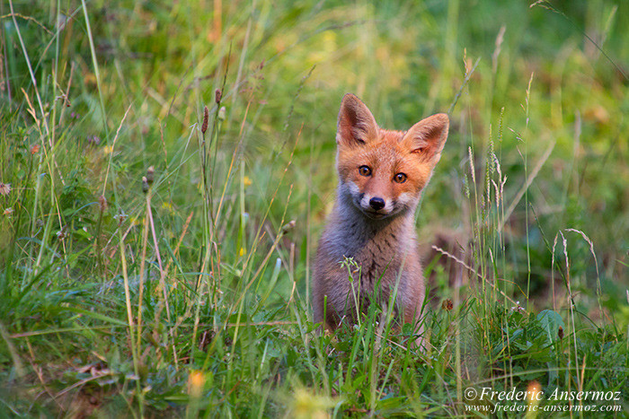 cute-fox-cub-looking