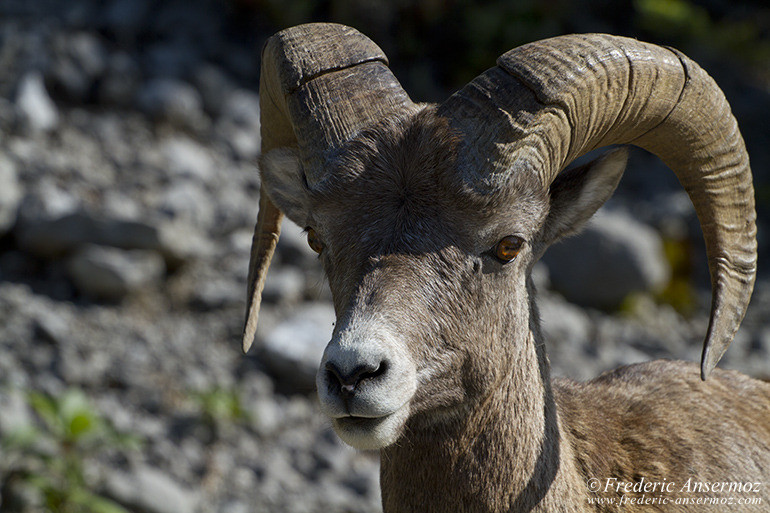 Bighorn sheep portrait in Alberta mountains
