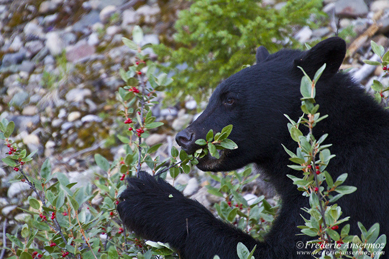 Black bear eating berries in the woods