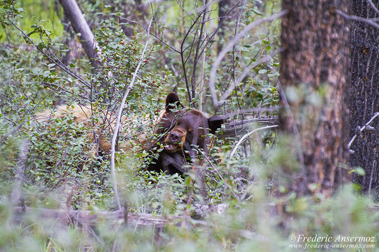 Cinnamon bear eating berries in the woods