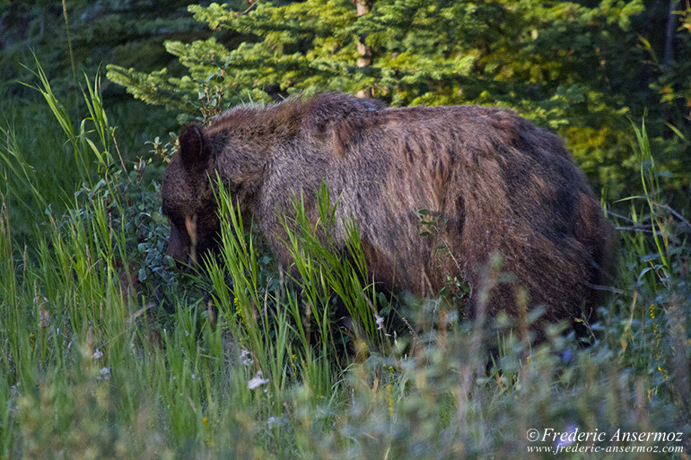 Grizzly eating in Alberta Rockies