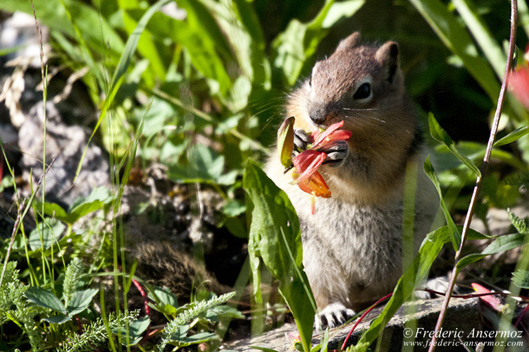 Ground squirrel eating flower