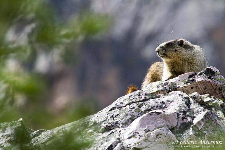 Marmot laying