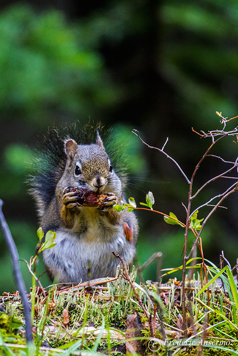 03 squirrel eating pinecone