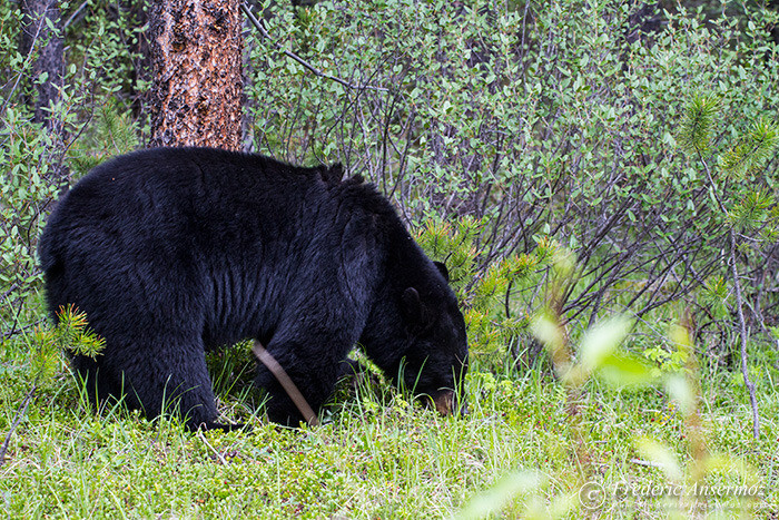 05 black bear eating grass