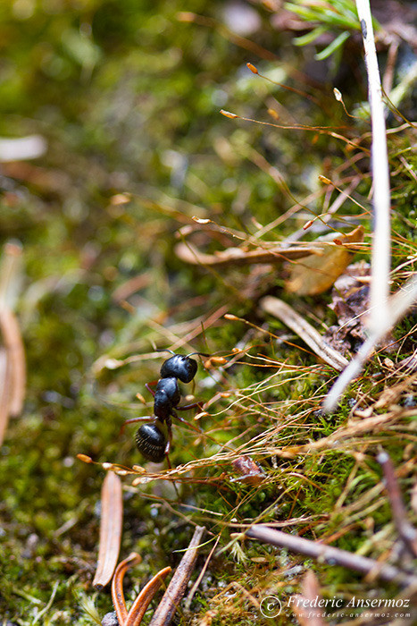 16 black ant moss