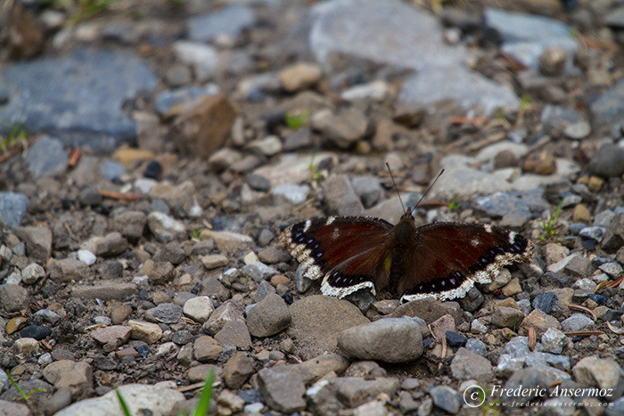 18 brown butterfly alberta